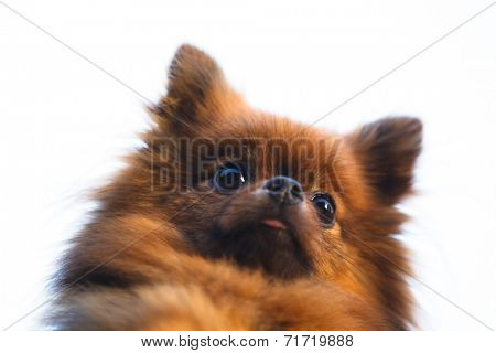 Pomeranian dog head (Zwergspitz), isolated on white