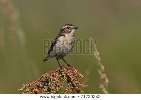 Young Whinchat Which Sits On A Branch On A Summer Day
