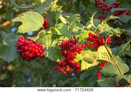 Viburnum Berries On A Tree Branch