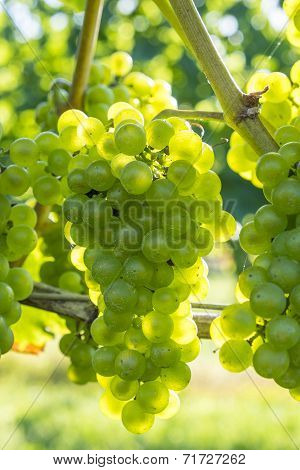 Chardonnay Grapes in a Vineyard