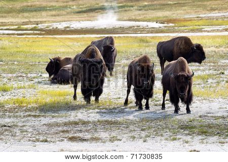Mature North American Buffalo Expressing Anger