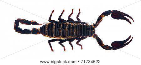 dark brown scorpion isolated on white background