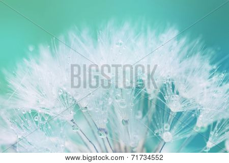 Tender White Dandelion seed with water drops  - soft and light background