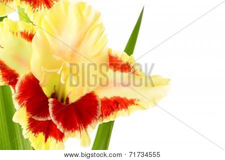 Fresh bright red and yellow gladiolus isolated on white background - horizontal