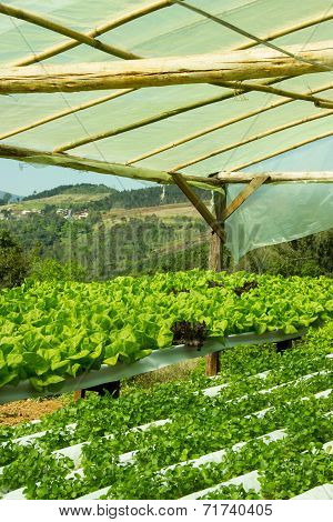 Watercress And Lettuce Plants In Hydroponic Culture