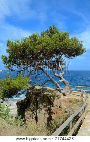 Coastal pine tree