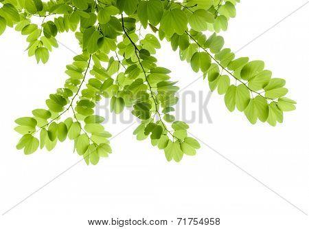 Green leaves - Bauhinia purpurea,also named purple bauhinia.