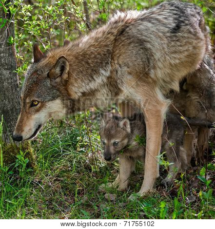 Grey Wolf (canis Lupus) Mother And Pup