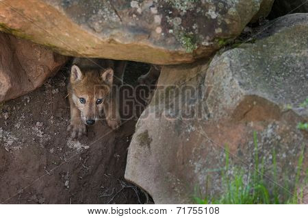 Grey Wolf (canis Lupus) Pup Creeps Out Of Den