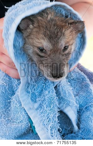 Grey Wolf (canis Lupus) Pup Not Enjoying Post Bath Rubdown