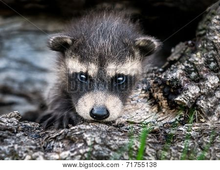 Baby Raccoon (procyon Lotor) Stares At Viewer