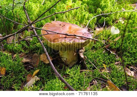 Mushroom Boletus Or Cep In The Autumn Forest