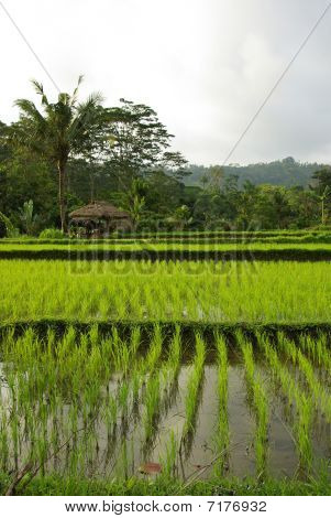 Bali  Old Hut And Ricefields