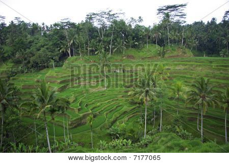 Bali  Terrace Ricefield And Palm