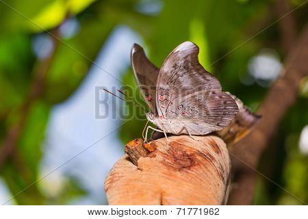 Redspot Duke Butterfly