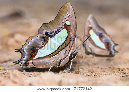 Common Nawab Butterflies
