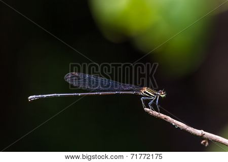 Black Threadtail Damselfly