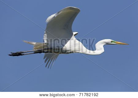 Great Egret In Flight - Texas