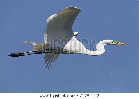 Great Egret In Flight - Texas