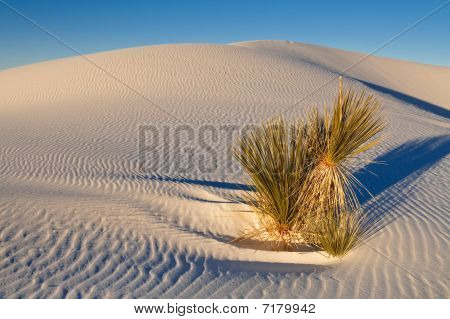 Soaptree Yucca Plant On White Sand Dune