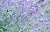 picture of purple sage  - Russian Sage  - JPG