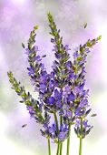 picture of lavender plant  - fresh lavender plant flowers over blurred background - JPG
