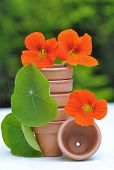 stock photo of nasturtium  - Pretty nasturtiums arranged in small terracotta pots - JPG