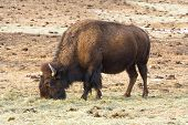 image of budge  - American bison in the rocky mountains colorado usa - JPG