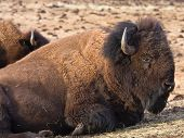 foto of budge  - American bison in the rocky mountains colorado usa - JPG