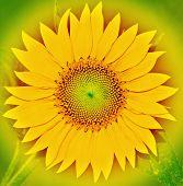 pic of fibonacci  - a close up of a beautiful sunflower - JPG