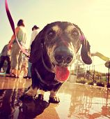 pic of wiener dog  -  a cute dog at a local public pool toned with a retro vintage instagram filter effect  - JPG