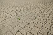 image of plantain  - Small green plantain among the gray paving slabs - JPG