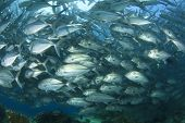 stock photo of bigeye  - School of Bigeye Trevally Fish - JPG