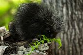 foto of nocturnal animal  - Baby Porcupine  - JPG