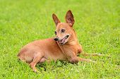 stock photo of miniature pinscher  - Miniature pinscher resting in the park on green grass - JPG