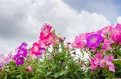 foto of petunia  - Petunia or Petunia Hybrida Vilm in the garden or nature park - JPG