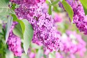 picture of lilac bush  - close up shot of purple lilac bush - JPG