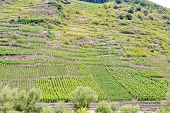 stock photo of moselle  - vineyard on green hills at riverbank of Moselle Germany - JPG