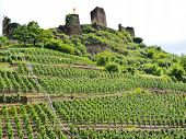 stock photo of moselle  - vineyards under Metternich Castle in Moselle region Germany - JPG