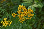 image of tansy  - Summer - JPG