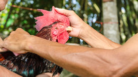 stock photo of game-cock  - A Thai Local Is Cleaing Cock Fighter - JPG