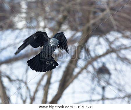 Jackdaw (corvus Monedula)  In Fly.