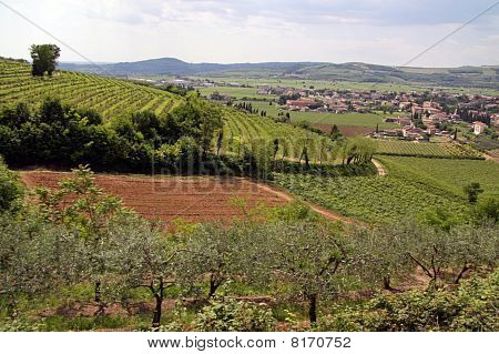 Wine and grape vineyards