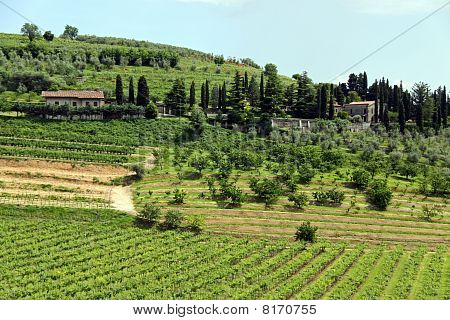 Wine and grape vineyards