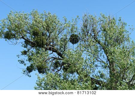 A deciduous tree with mistletoes