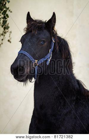 Portrait Beauty Foal - Friesian Horse Stallion