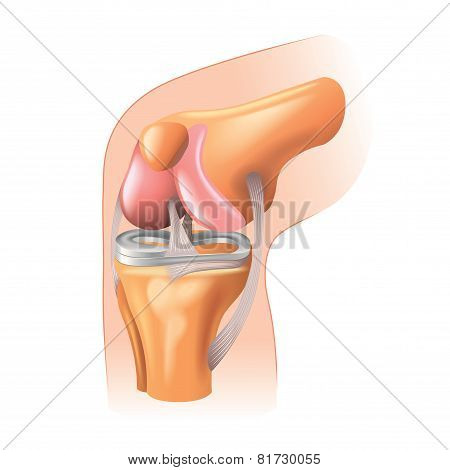 Knee Joint Anatomy Isolated On White Vector