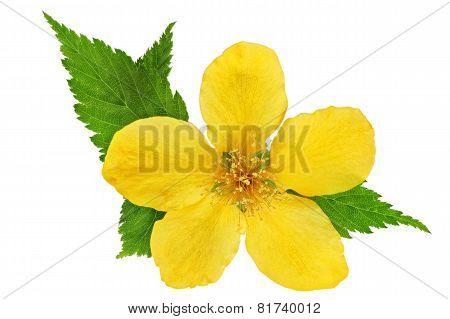 Single Marsh Marigold  Yellow Wildflowers Isolated  .