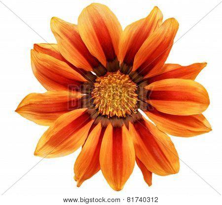 Single Flower Of Tiger Gazania. (splendens Genus Asteraceae).isolated