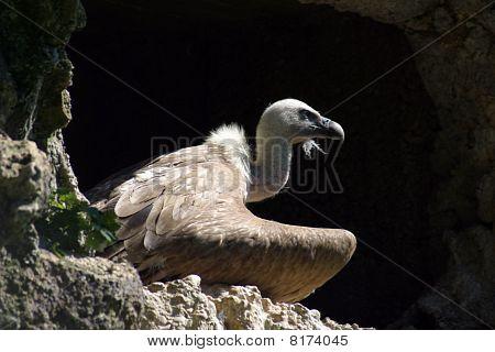 Eurasian Griffon (Gyps Fulvus), Vulture